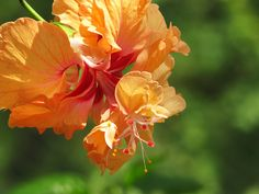 hibiscus (Rose of Sharon)