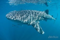 Incredible Whale Shark photos from La Paz, in the Sea of Cortez during our La Paz workshop.