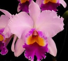 #cattleya #orchid - learn 2 #grow http://www.growplants.org/growing/cattleya orchids orachid flower flowers cattleya