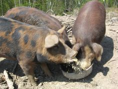 Pigs sloshing about in their pen.