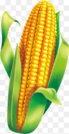 Corn material PNG and Clipart