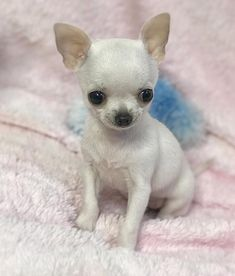Chihuahua dogs are part of the toy dog breed, bringing a lot of energy in a tiny package. Find out more about the Chiwawa dog here. Teacup Chihuahua Puppies, Chihuahua Love, Cute Puppies, Cute Dogs, Chihuahuas, Teacup Pomeranian, Toy Dog Breeds, Baby Dogs, Cutest Animals