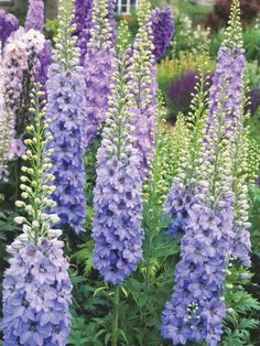 Hummingbird Plants Delphinium Hummingbirds love delphinium, which blooms in early summer. Height for these perennials can average anywhere from 2 to 8 feet tall, depending on variety. Delphinium requires rich soil, and areas with relatively cool summers. Delphinium Flowers, Delphiniums, Flowers Perennials, Planting Flowers, Flower Gardening, Tall Perennial Flowers, Agapanthus, Flowers Garden, Purple Flowers