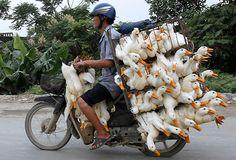 Hanoi, Vietnam: A man transports ducks on a motorbike to a market