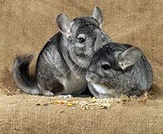 Chinchilla Food – 5 Tips for Feeding Your Chinchilla MOre at URL: http://chinchilla.co/ Fb fan page: https://www.facebook.com/LoveChinchilla