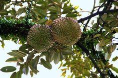 Дуриан - экзотический король фруктов #durian