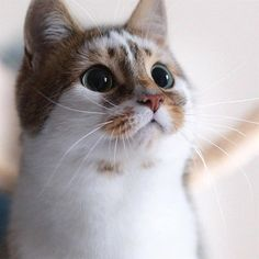 Animals And Pets, Baby Animals, Cute Animals, Most Beautiful Cat Breeds, Beautiful Cats, Beautiful Pictures, Cute Cats And Kittens, Kittens Cutest, Ragdoll Kittens