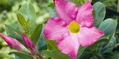 Galerie - Mandevila: Pěstování od A do Z, foto 1 – AbecedaZahrady. Flowers, Plants, Garden, Google Search, Pictures, Garten, Planters, Royal Icing Flowers, Gardening