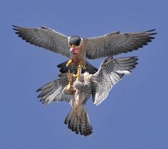 Peregrine Falcon | Peregrine Falcon Behavior