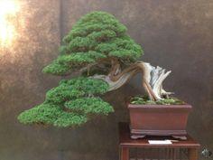 Stunning Juniperus Kishiu, by Salvatore Liporace    See: www.bonsaiempire.com  #bonsai #japan