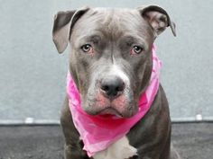 R.I.P. LADY   SUCH A SWEET GIRL!   KILLED 5/15/16    TO BE DESTROYED 05/15/16 **ON PUBLIC LIST** A volunteer writes: Lovely Lady is looking for some good luck to come her way today, and doesn't that breathtakingly gorgeous face just make you want to give her everything her heart desires? She's a shy girl unused to the noise and bustle of the Care Center but still keen to get outside for a walk, and when I move slowly, offer gentle petting, and praise her with sweet talk, she soon hops up…