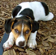 The Daily Puppy ~ Mya the Coonhound mix.