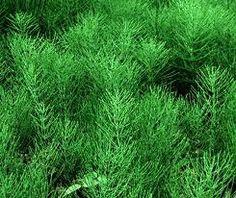 """In passato presso le famiglie contadine, i germogli della pianta di Equiseto, comunemente conosciuta come """"Coda cavallina"""", venivano aggiunt..."""