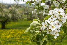 Apple blooming in Switzerland
