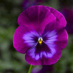 "Hottest Snap Shots Pansies flowers Tips Pansies include the colorful flowers with ""faces."" A cool-weather favorite, pansies are fantasti Exotic Flowers, Colorful Flowers, Purple Flowers, Beautiful Flowers, Yellow Roses, Pink Roses, Cactus Flower, Flower Art, Pansy Flower"