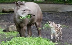 Baby tapir Parima explores her enclosure for the first time at Hagenbecks Zoo in Hamburg, Germany, while protective mum Carmina keeps a watchful eye on her.