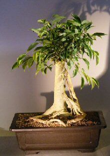 Oriental ficus bonsai tree