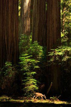 A Deer In The Redwoods