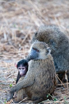 #Baboons are very social and like to hag out in their family units. Photo by: Billy Dodson
