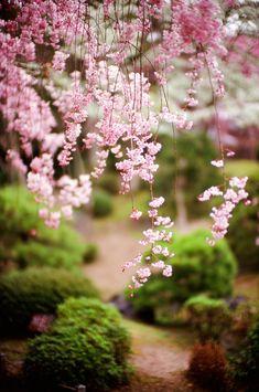 Japanese Garden - the wonder of Zen culture! Pink Flowers, Beautiful Flowers, Jardin Decor, Sakura Cherry Blossom, Cherry Blossoms, Spring Blossom, Ikebana, Belle Photo, Garden Inspiration