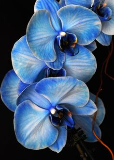 Blue Mystique is the result of a patented process that infuses white orchids with a special medium.