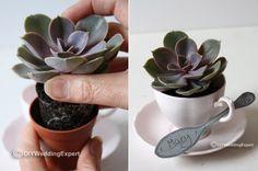 Succulents in Tea Cups