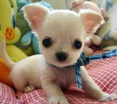 Effective Potty Training Chihuahua Consistency Is Key Ideas. Brilliant Potty Training Chihuahua Consistency Is Key Ideas. Cute Baby Animals, Animals And Pets, Funny Animals, Cute Puppies, Cute Dogs, Dogs And Puppies, Doggies, Chihuahua Love, Teacup Chihuahua Puppies