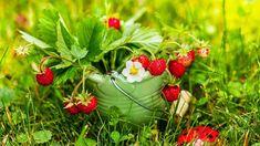 Kousek lesa na zahradě Strawberry, Fruit, Food, Compost, Essen, Strawberry Fruit, Meals, Strawberries, Yemek
