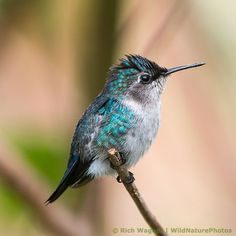 Bee Hummingbird!