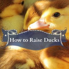 How to Raise Ducks – Homesteading Guide Urban Survival Kit, Survival Tent, Survival Bow, Raising Ducks, Raising Chickens, How To Raise Ducks, Farm Animals, Animals And Pets, Survival Project