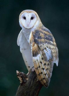 Beautiful Barn Owl in Michigan, USA. Photographer : Greg Ledermann.