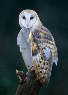 Beautiful Barn Owl in Michigan, USA. Photographer : Greg Ledermann.