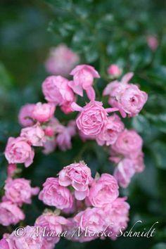 Utan följande saker hade min trädgård inte känts som min:  1. Trälådor. Att förvara saker i. Att plantera i.  2. Dubbla blommor. Har bara dille på dem. Har alltid haft. Tror det kom med...
