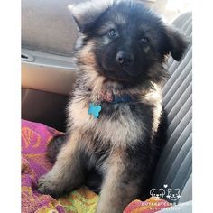 From @kovuthekingshepherd: Today I got my very first bath and then went for a car ride with my mommy!! #cutepetclub [source: http://ift.tt/2daOL2A ]