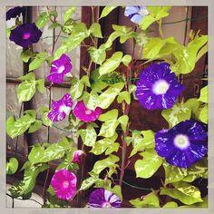 【アサガオ】一日に咲く花の数が日に日に多くなってきました!