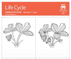 Children can colour in and label these pictures of the four stages in the life cycle of a strawberry plant, then add a few lines about what happens at each stage. #FoodEducation #TeachingResources #Strawberry