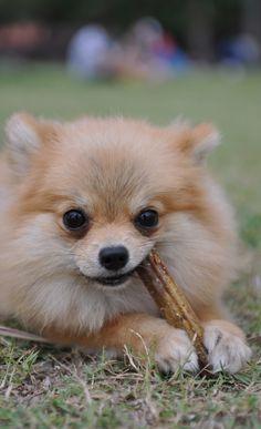 Pomeranian Puppy Playing