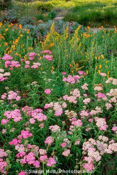Achillea millefolium 'Island Pink' (Yarrow) in meadow garden