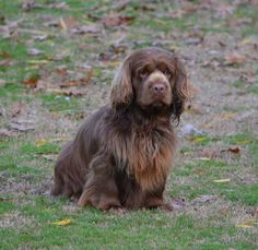Sussex Spaniel ~ Classic Look