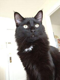 Adopt Jasper from Feline Rescue, Inc. St. Paul, MN http://www.adoptapet.com/pet/11787590-st-paul-minnesota-cat
