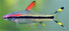 Torpedo Barb  http://www.tropical-fish-pictures.com/fish-pictures/red-line-torpedo-barb.jpg