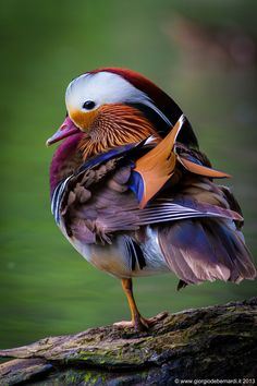 Wildlife Treasures, Mandarin Duck by giorgio debernardi~~