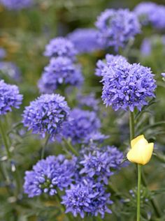 "front yard, California native self-sowing Gilia capitata ""Blue Thimble Flower"""