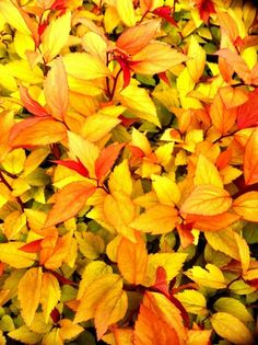 "Spirea Japonica ""Firelight"" mixture of red, orange and yellow foliage shrub."