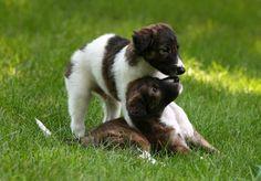 Fauna: Dogs: Silken Windhounds