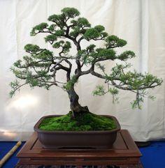 Leptospermum Polyfaliforium/ L Flavescens