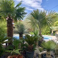 Viele Palmen und Exoten stehen zum Verkauf bereit... Yucca Rostrata, Steyr, Plants, Patio, Tropical Gardens, Too Nice, Exotic Plants, House, Plant