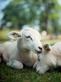 ''As long as people will shed the blood of innocent creatures there can be no peace, no liberty, no harmony between people. Slaughter and justice cannot dwell together.'' - Isaac Bashevis Singer Ⓥ Alpacas, Beautiful Creatures, Animals Beautiful, Farm Animals, Cute Animals, Sheep And Lamb, Baby Sheep, Baa Baa Black Sheep, Counting Sheep