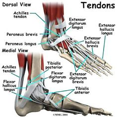 Google Image Result for http://www.crowcity.co.uk/images/tendons-foot.jpg