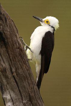 white woodpecker (melanerpes candidus 0 copyright Csaba Godeny